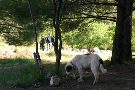Spaanse_herdershond