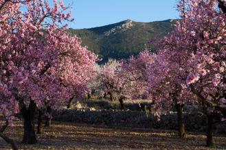 Amandelbomen-in-volle-bloei