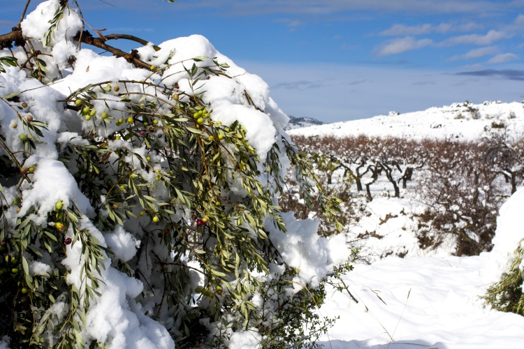 Sneeuw-op-olijfboom