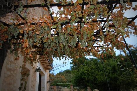 Bevroren-druiven
