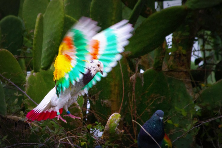 Gekleurde-duiven_1