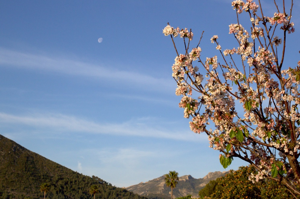 Kersenboom-Spanje
