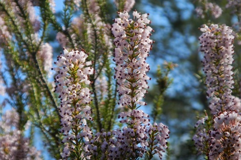 Erica-multiflora-spain
