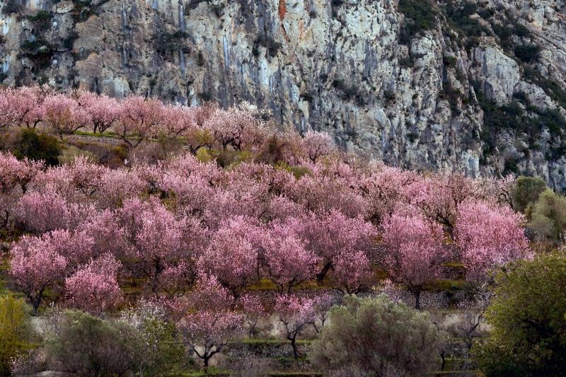 Amandelbomen-in-bloei