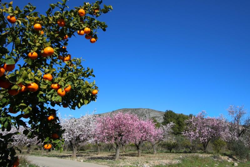 Mandarijnen-en-bloesem-Spanje