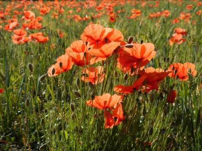 Klaprozen bloeien langs de Via Verde