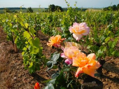 De eerste wijnrnken