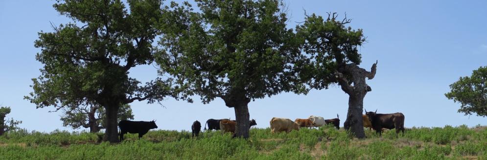 Kudde-in-Spanje