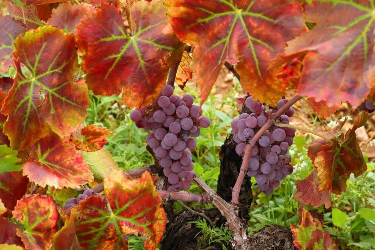 Raim-Druiven