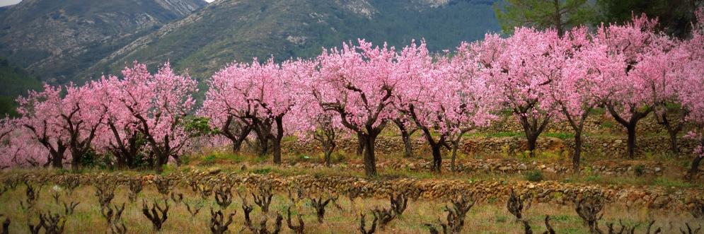 Amandelboomgaard-in-bloei