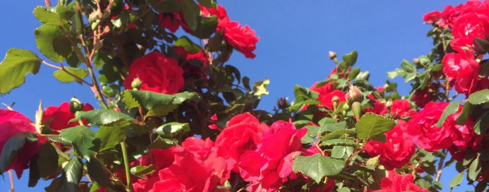 Rode-rozen