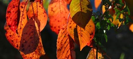 kersenbladeren