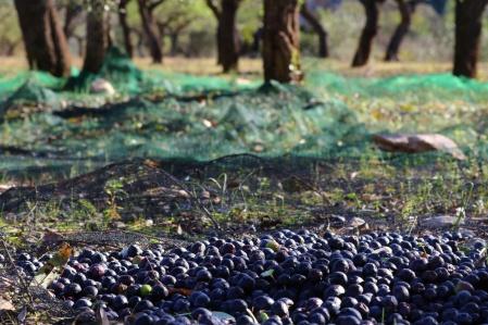 olijven-oogst