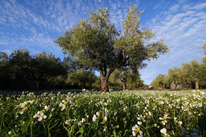 olijfboom-imgl7394