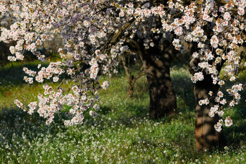 amandelboomgaard
